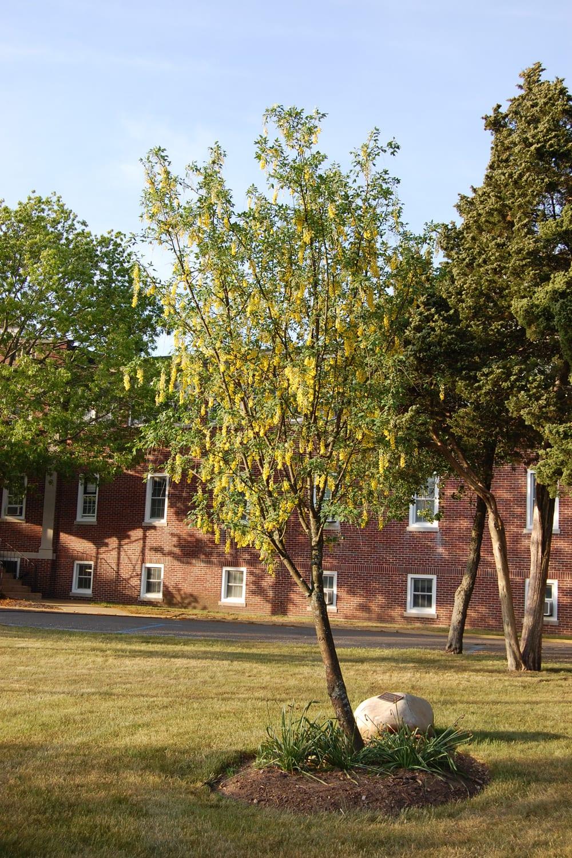 Golden chain tree brings sunshine to the garden - TBR News Media