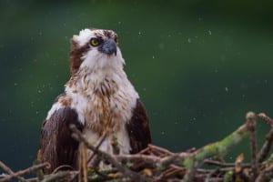 'Osprey in the Rain' by Tom Reichert