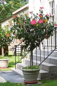 Tree hibiscus do well in a planter in full sun. Photo by Ellen Barcel
