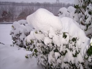 Remove heavy wet snow from bent branches if can be done safely. Photo by Ellen Barcel