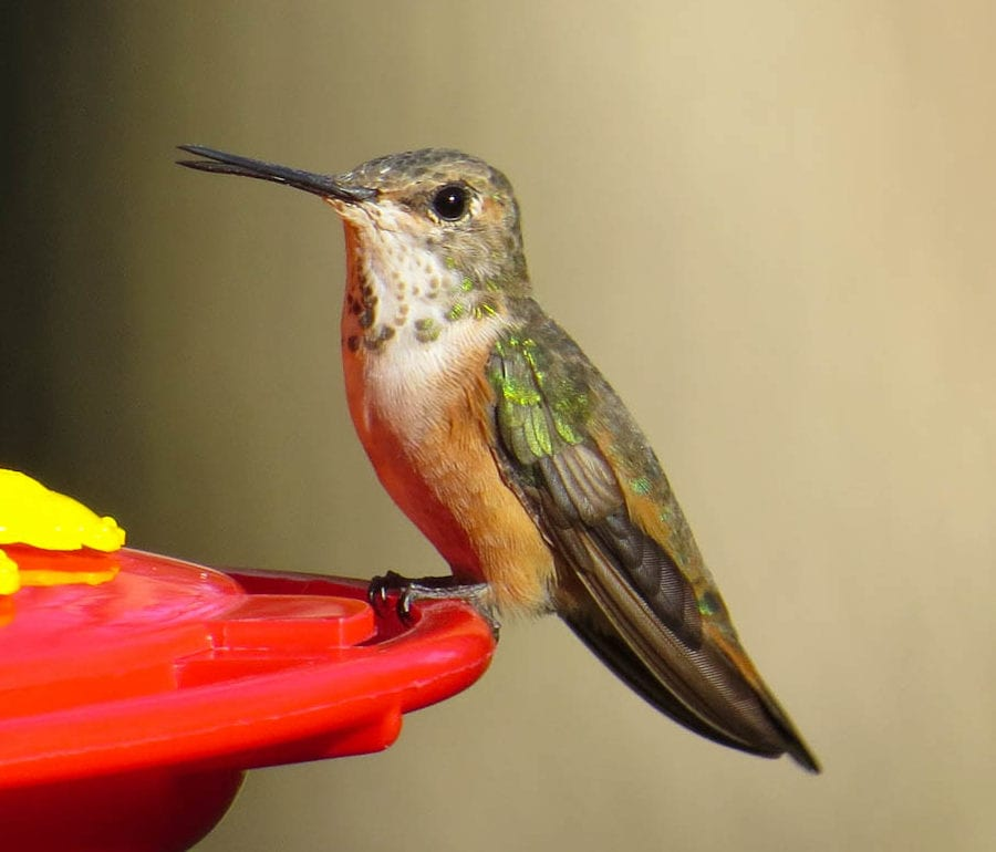 Hummingbirds Spotted On Long Island Above