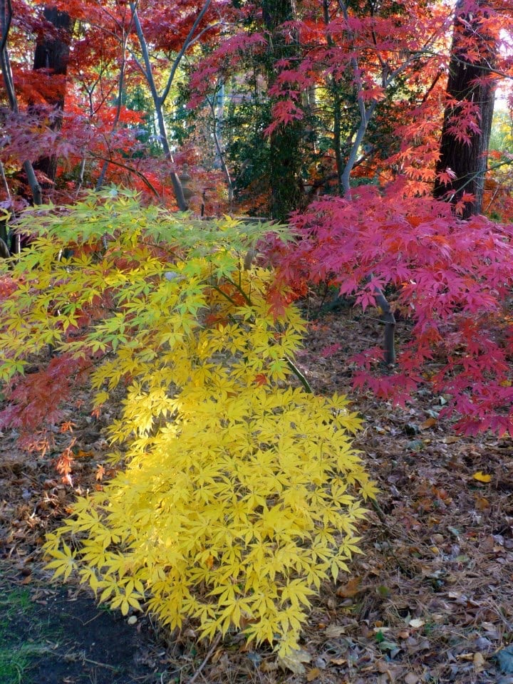The Gardener S Delight Japanese Maples Great Fall Colors For